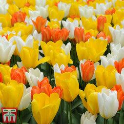 Tulip 'Citrus Mix'