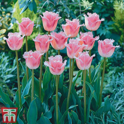 Tulip 'Pink Fountain'