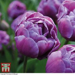 Tulip 'Blue Diamond'