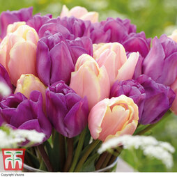 Tulip 'Magic Lavender' and 'Mango Charm' Collection