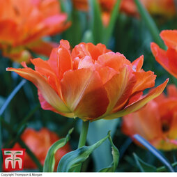 Tulip 'Exotic Orange'