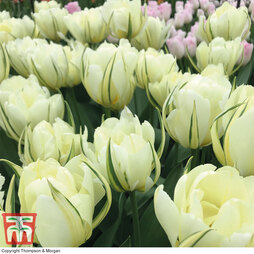 Tulip 'White Valley'