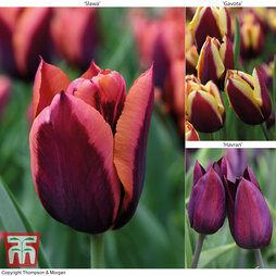 Tulip 'Striped Mix'