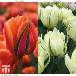 Tulip 'Queensday' and 'White Valley' Collection