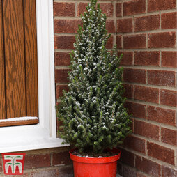 Potted Christmas Tree - Picea Perfecta - Gift