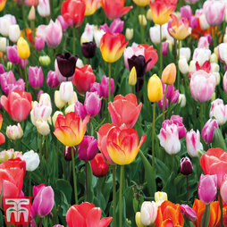 Tulip 'Full Border Mix'