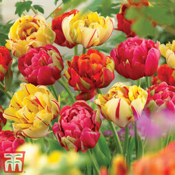 Tulip 'Colour Carnival'
