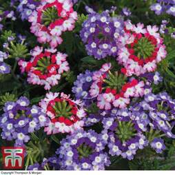 Verbena 'Obsession Twister Red and Purple'
