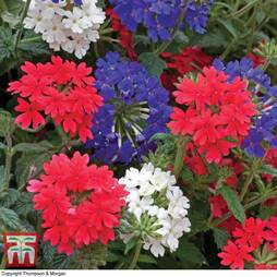 Verbena 'Union Jack Mixed' (Garden Ready)