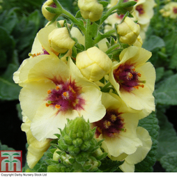 Verbascum 'Dark Eyes'