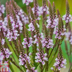 Verbena hastata f. rosea 'Pink Spires'