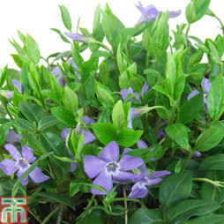 Vinca minor 'Bowles's Variety'
