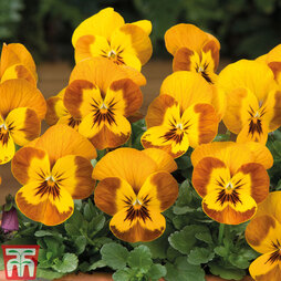 Viola F1 'Sorbet™ Honeybee'