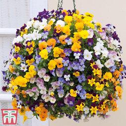 Viola 'Teardrops' Pre-planted Hanging Basket