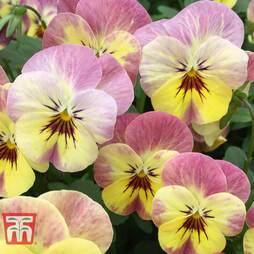 Viola 'Rhubarb and Custard'