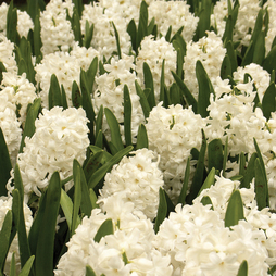 Hyacinth White Pearl - Gift
