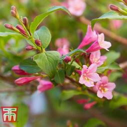 Weigela florida 'Pink Poppet'