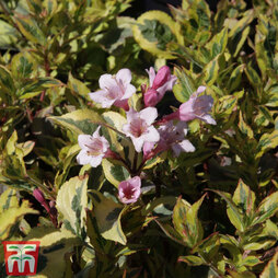 Weigela florida 'Magical Rainbow'