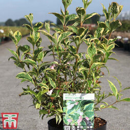 Weigela 'White Lightning'