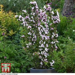 Weigela Towers of Flowers® 'Apple Blossom'