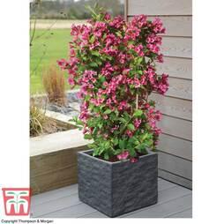 Weigela Towers of Flowers® 'Cherry'
