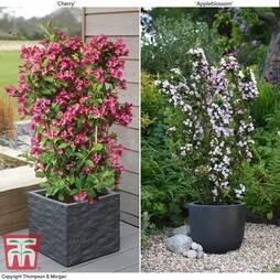 Weigela 'Towers of Flowers'® Duo