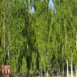White Poplar (Hedging)