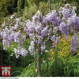 Wisteria sinensis (Patio Standard)