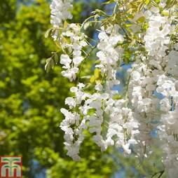 Wisteria sinensis f. alba