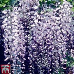 Wisteria floribunda 'Burford'