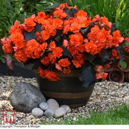 Begonia 'Sunpleasures® Choco Orange'