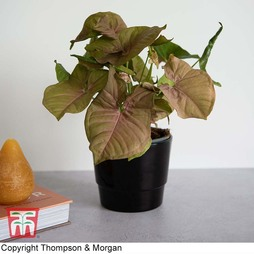 Syngonium podophyllum 'Red Heart' (House Plant)