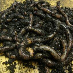 Worm Colony Packs