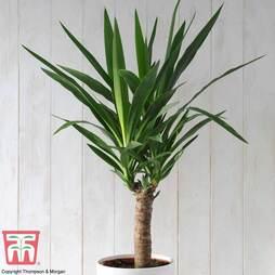 Yucca elephantipes (House Plant)