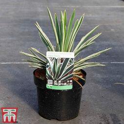 Yucca flaccida 'Ivory'