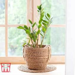 Zamioculcas zamiifolia (House Plant)