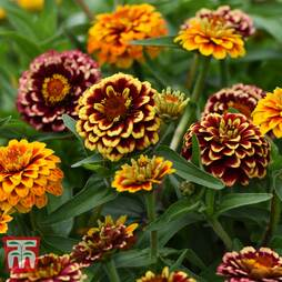 Zinnia haageana 'Aztec Sunset Improved'