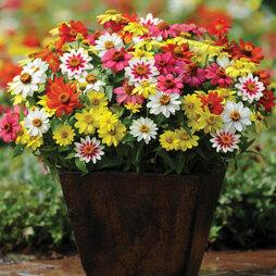 Zinnia 'Zahara' Single-Flowered Mixed (Garden Ready)