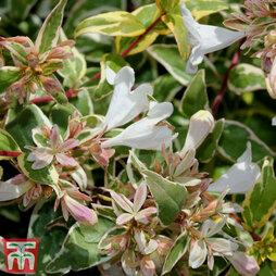 Abelia x grandiflora 'Sparkling Silver'