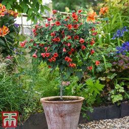 Abutilon megapotamicum 'Red Trumpet' (Standard)