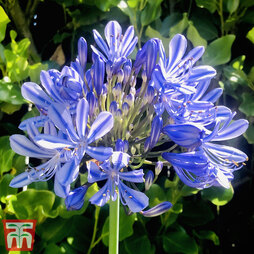 Agapanthus 'Blue Umbrella'