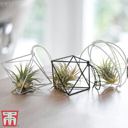 Air Plant Variety Collection (House Plant)