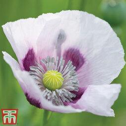 Poppy 'Album'
