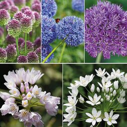Allium 100 Bulb Collection