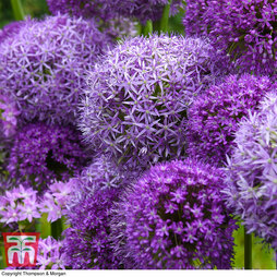 Allium Connoisseurs Collection