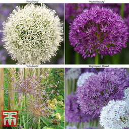 Allium Spring Collection