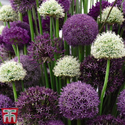 Allium 200 Collection