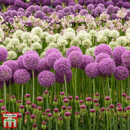 Allium Nurserymans Collection