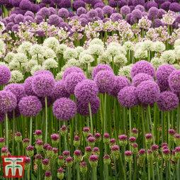 Allium Nurserymans Collection
