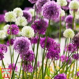 Allium 'Big Impact Mixed'